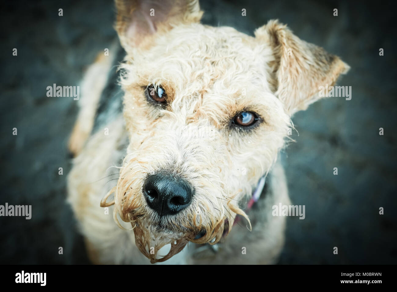 Wire Haired Terrier Stock Photos & Wire Haired Terrier Stock Images ...