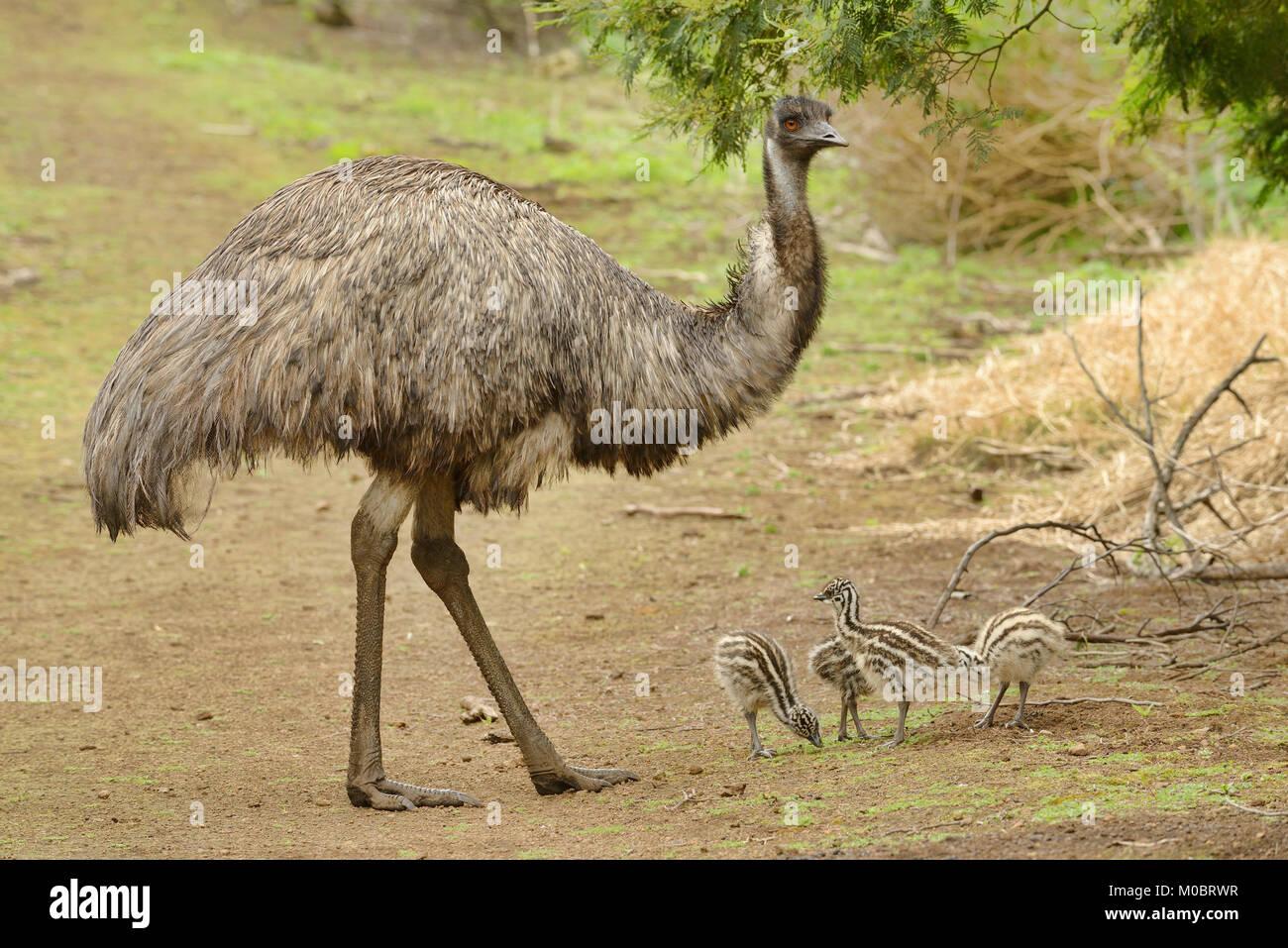Emu Dromaius novaehollandiae Male with chicks Photographed in Victoria, Australia Stock Photo