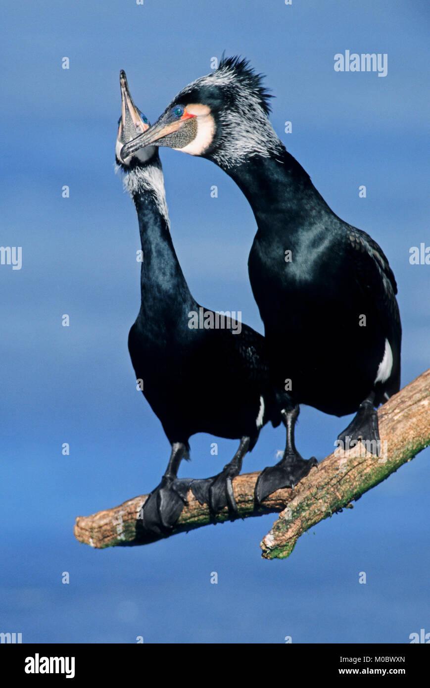 Great Cormorant, pair courting, North Rhine-Westphalia, Germany   | Kormorane, Paar balzend, Nordrhein-Westfalen, - Stock Image