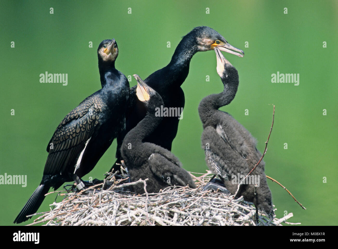 Great Cormorant, pair with youngs at nest, Germany / (Phalacrocorax carbo) | Kormoran, Paar mit Jungvoegeln im Nest, - Stock Image