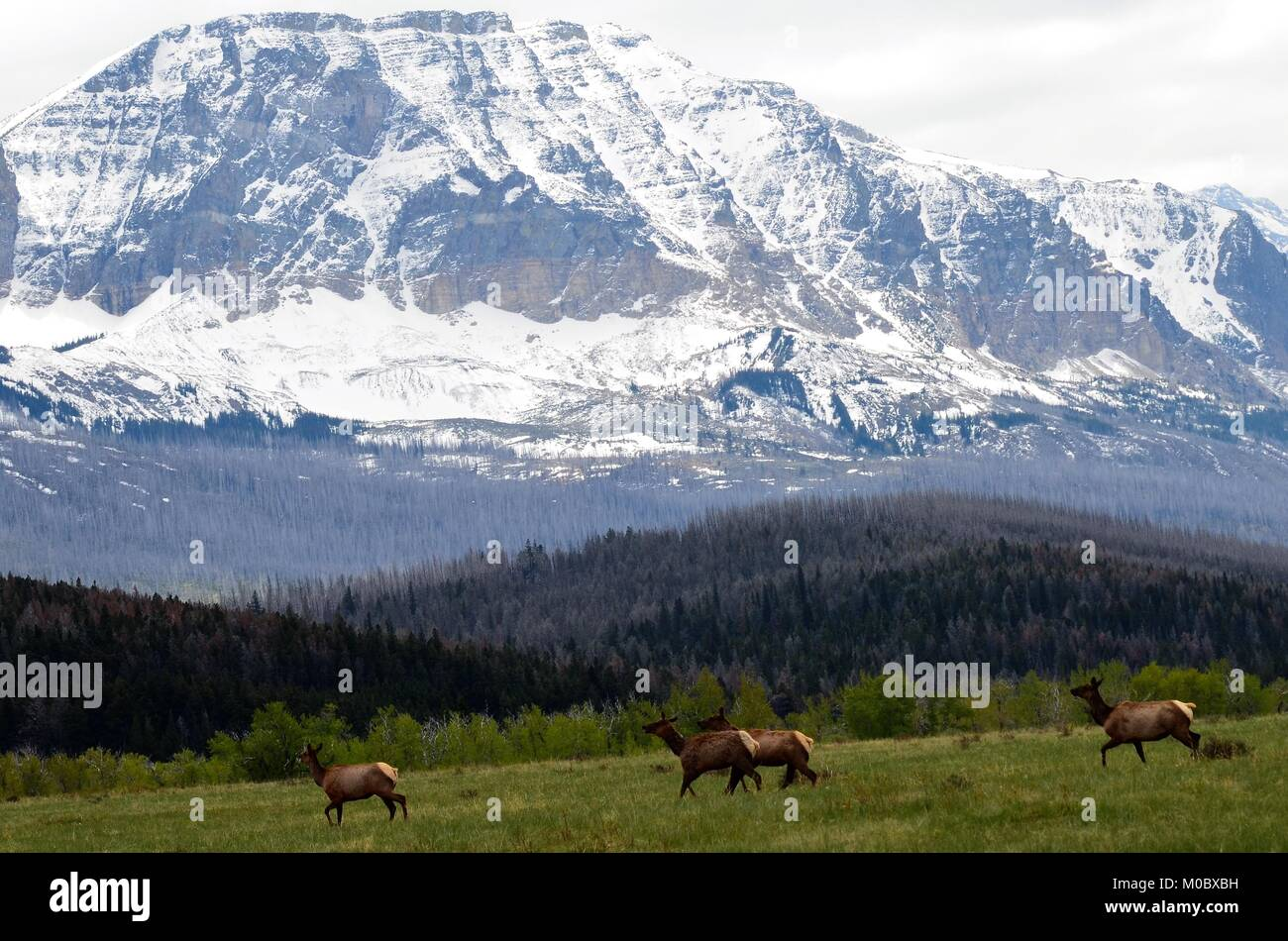 A herd of majestic wild elk move swiftly across a meadow, with a background of snow covered mountains and a forest - Stock Image