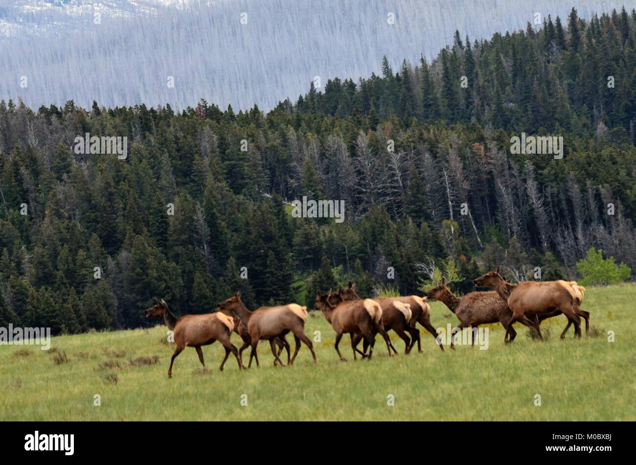 A herd of elk move swiftly across an open field, looking for food and shelter before evening - Stock Image