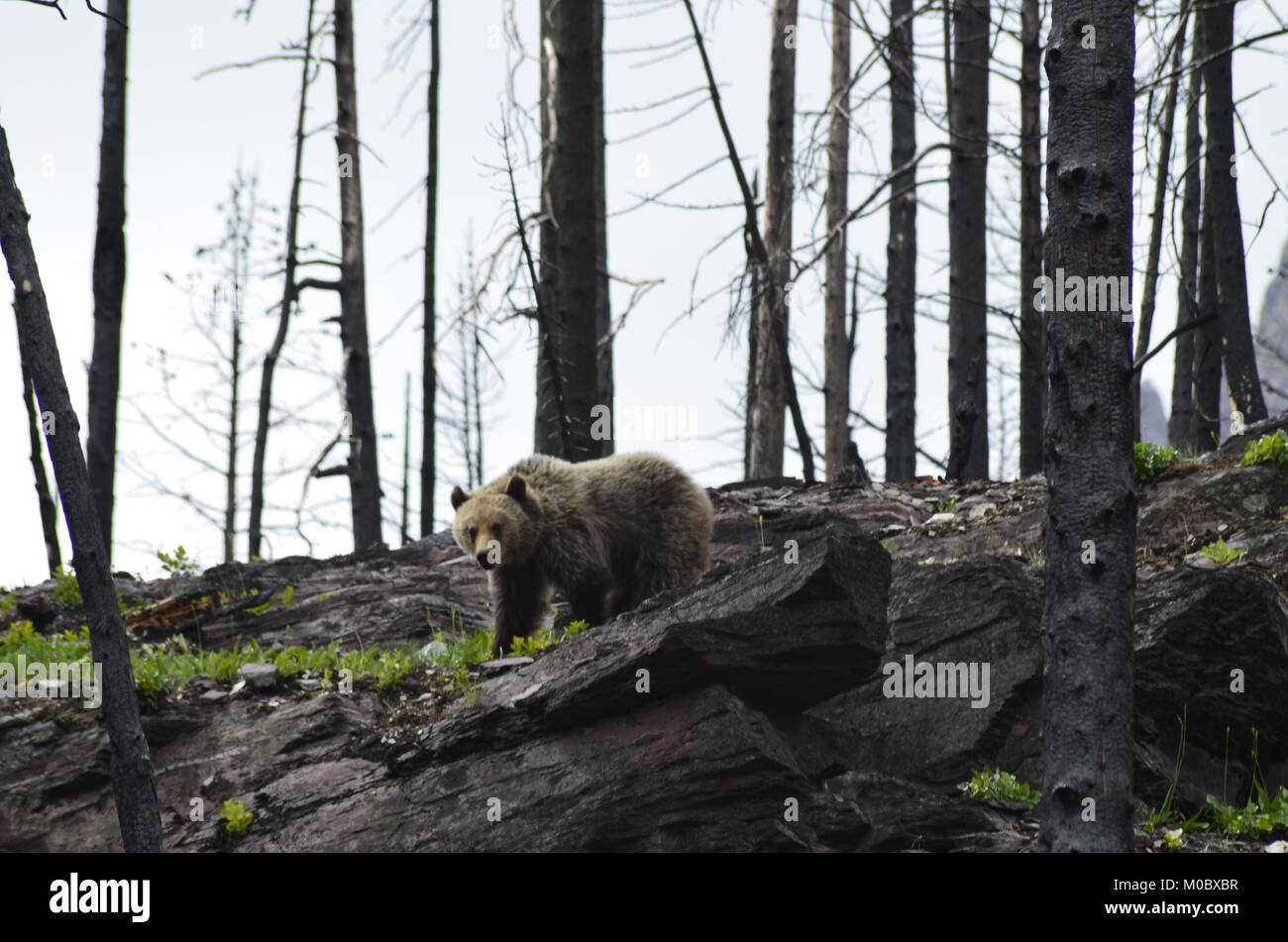 A large grizzly bear searches for food while roaming through, where a forest fire had occurred four weeks before. - Stock Image