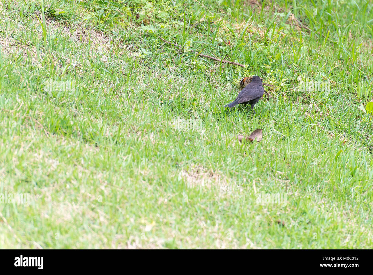 The shiny cowbird parasitizing the rufous collared sparrow on the ground Stock Photo