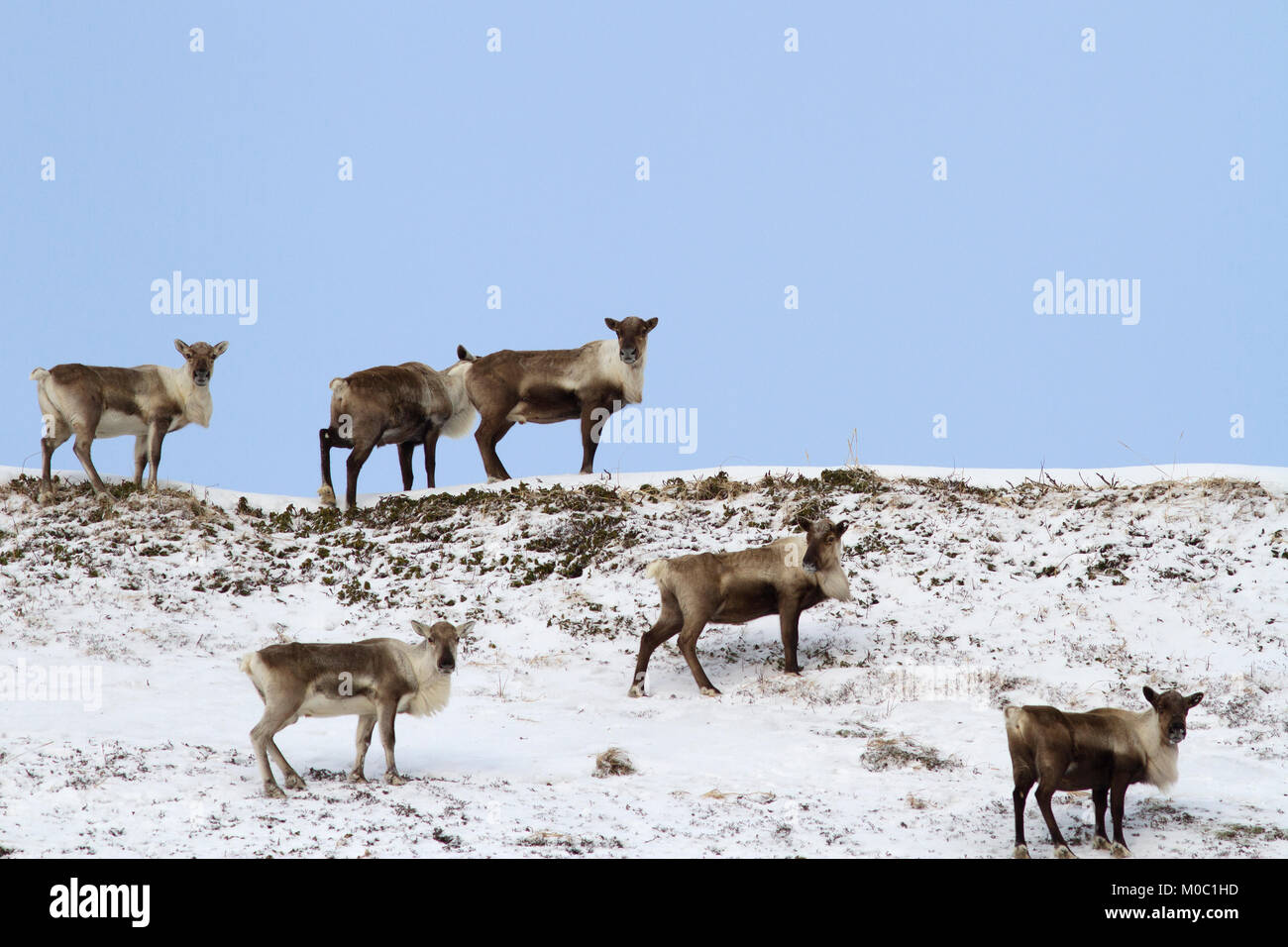 A small herd of reindeers standing on top of a hill in the tundra in winter - Stock Image