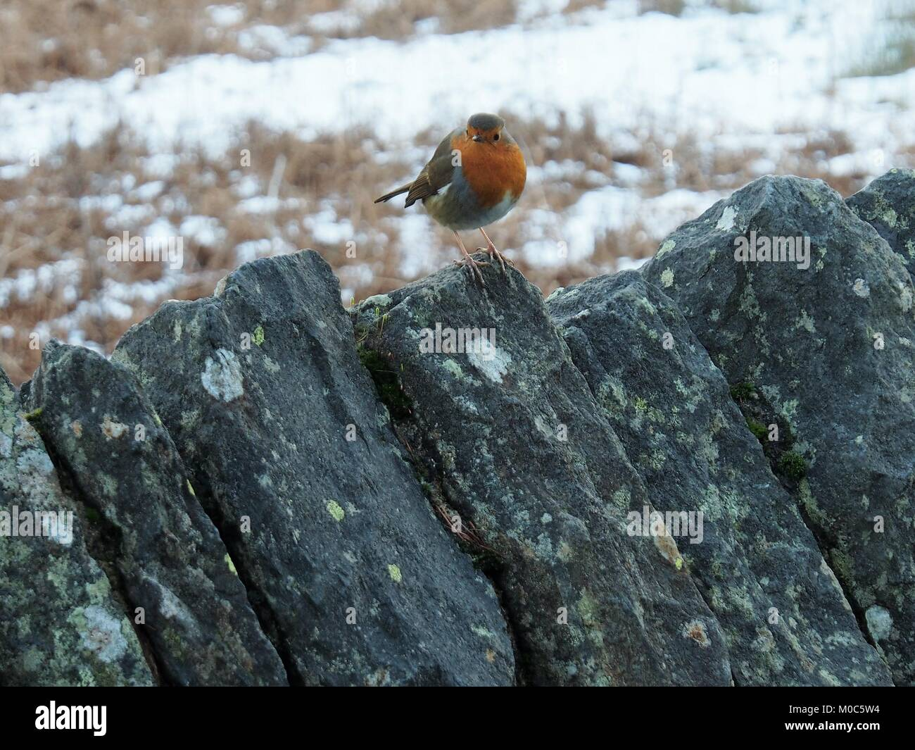 European Robin perched on a dry stone wall, Whinlatter Pass, Lake District National Park, Cumbria, United Kingdom - Stock Image