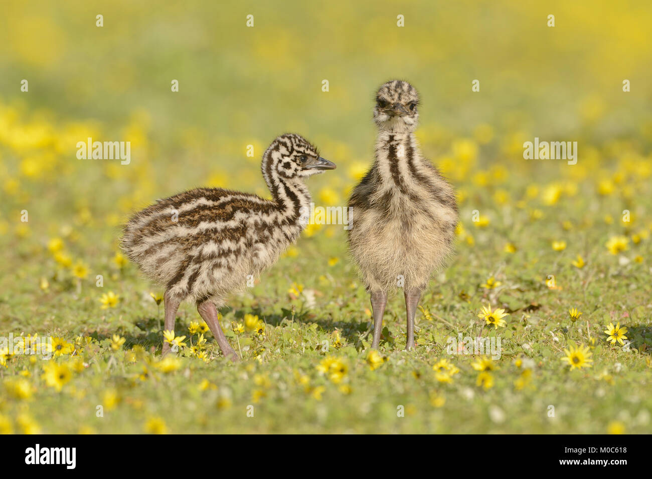 Emu Dromaius novaehollandiae Chicks Photographed in Victoria, Australia Stock Photo