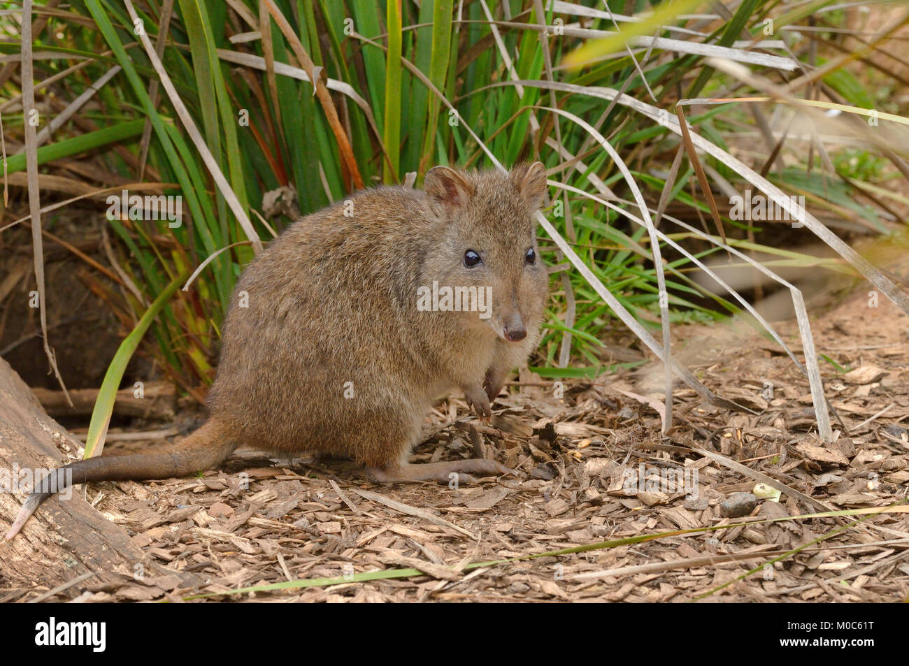 Long-nosed Potoroo Potorous tridactylus Photographed in Tasmania, Australia Stock Photo