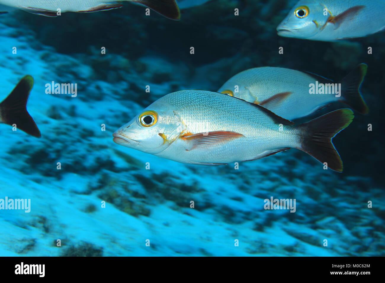 Humpback red snapper fish (Lutjanus gibbus) underwater in the Maldives - Stock Image