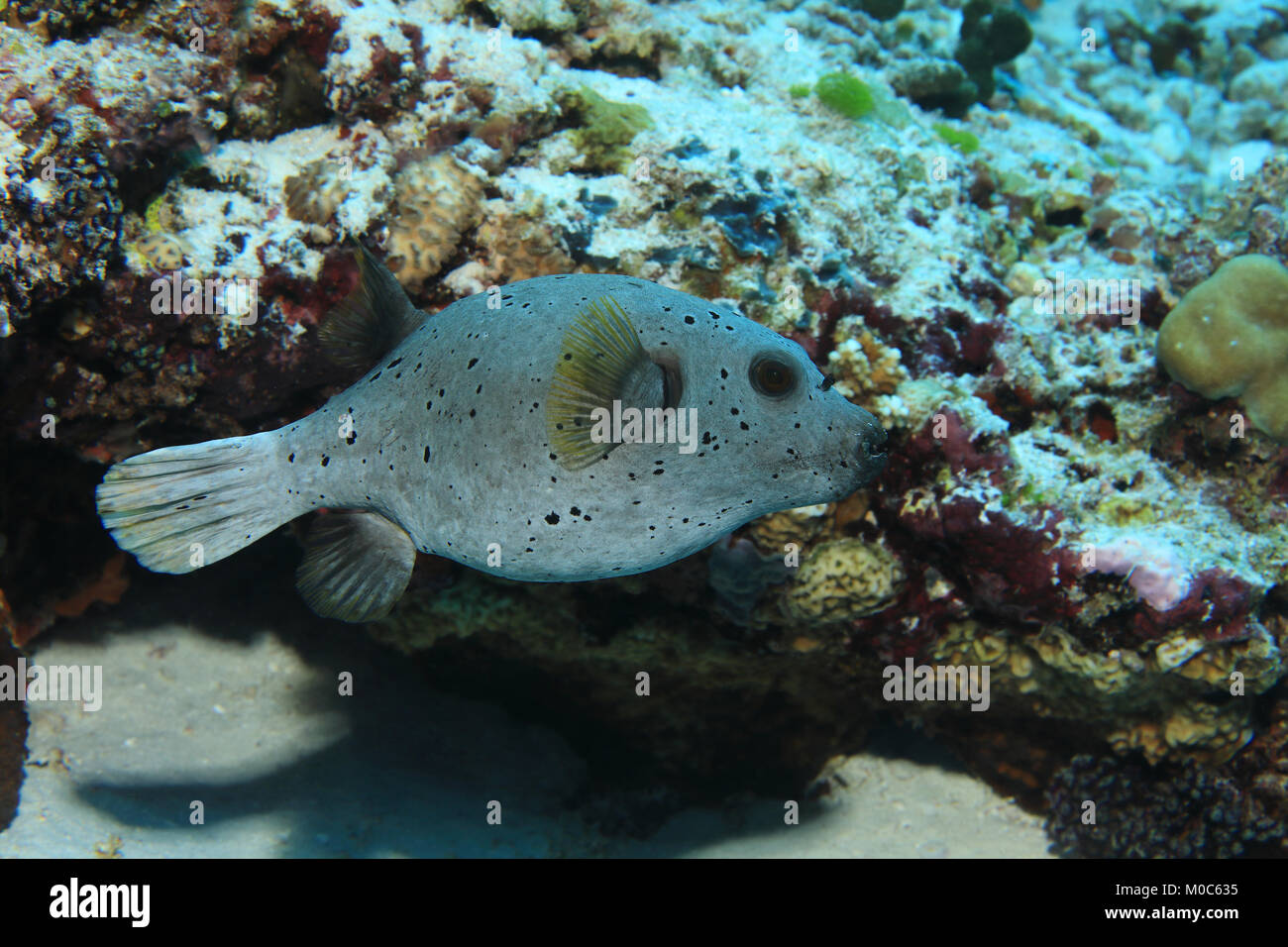 Blackspotted pufferfish (Arothron nigropunctatus) underwater in the tropical coral reef - Stock Image