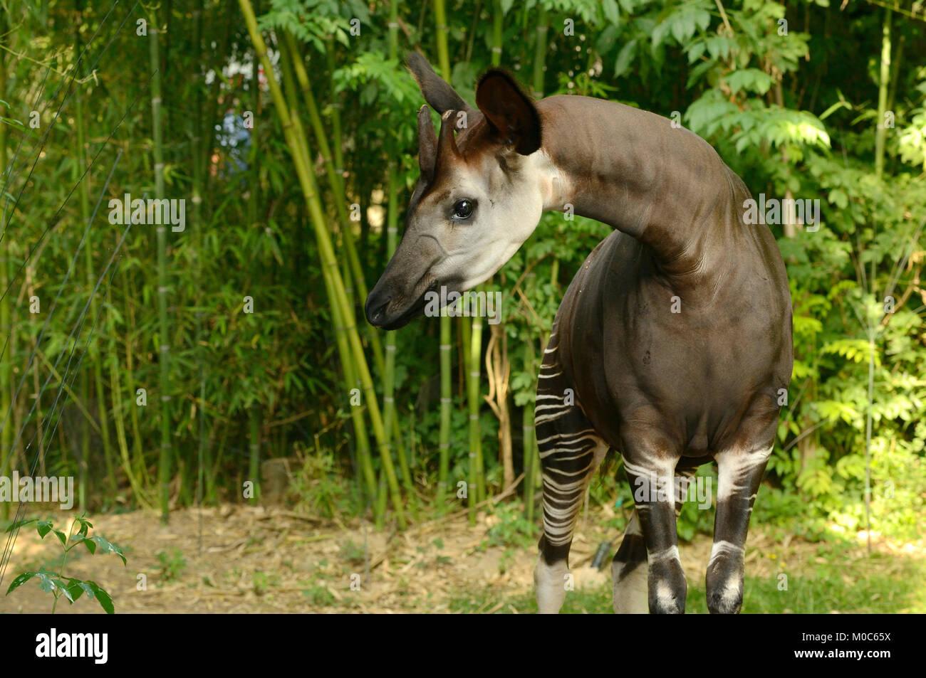 Okapi Okapia johnstoni Endangered species Captive Stock Photo