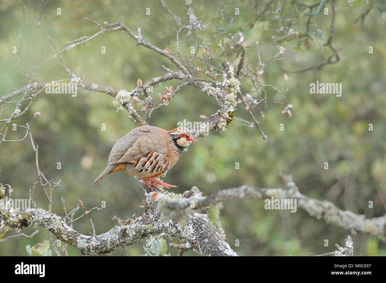 Red-legged Partridge Alectoris rufa Photographed in Spain Stock Photo