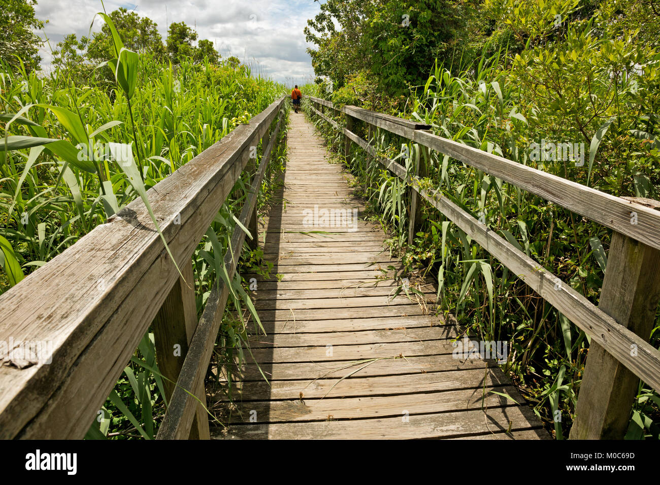 NC01371-00...NORTH CAROLINA - Boardwalk trail almost over grown with Common Reed as it heads through the salt marsh - Stock Image