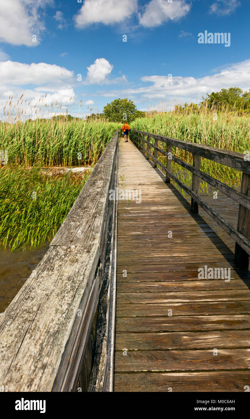 NC01373-00...NORTH CAROLINA - Boardwalk trail almost over grown with Common Reed as it heads through the salt marsh - Stock Image