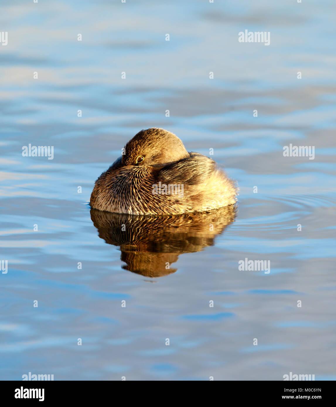 Pied-billed grebe (Podilymbus podiceps) - Stock Image