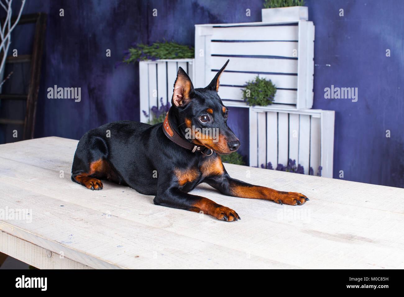 Miniature Doberman Pinscher Dog On A Purple Background Dog Next To Stock Photo Alamy