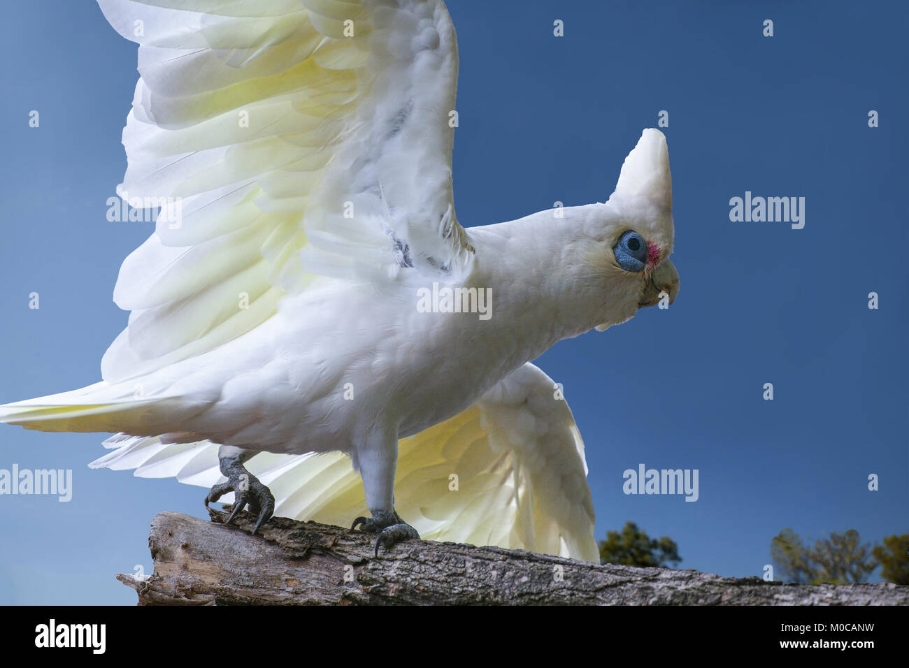 Backyard birds in Australia: A Little Corella (Cacatua snaguinea) flies in to my backyard. Melbourne, Victoria. - Stock Image