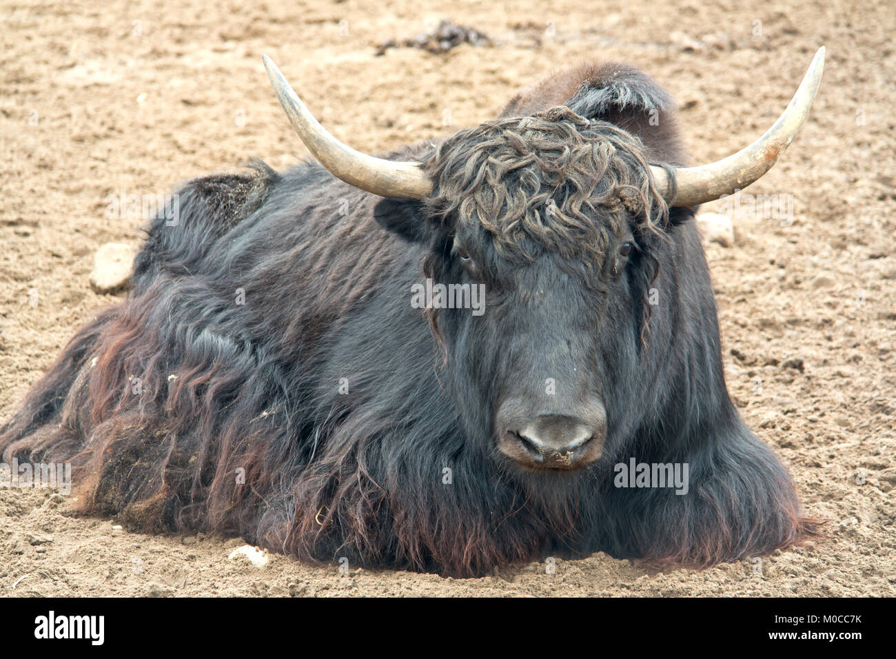 Tibetan bull has a rest on sand - Stock Image