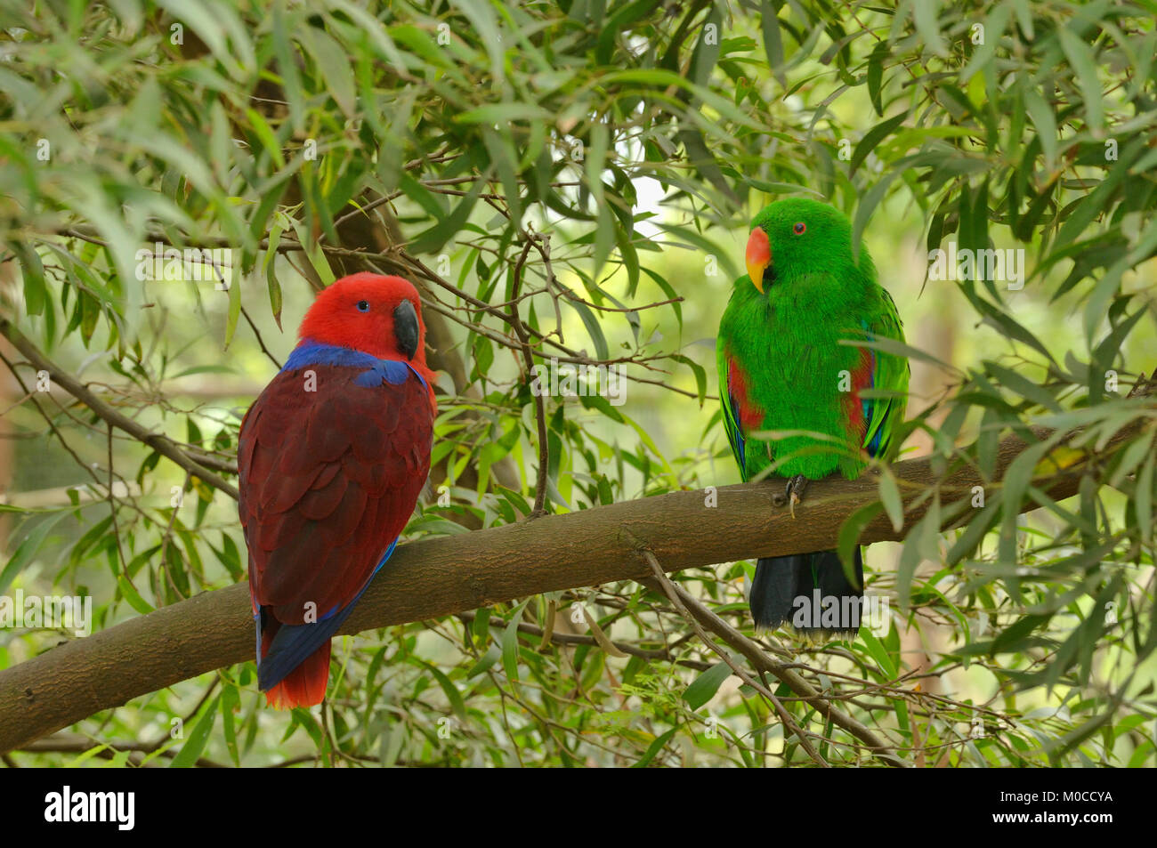 Eclectus Parrot Eclectus roratus Male and female Captive Stock Photo