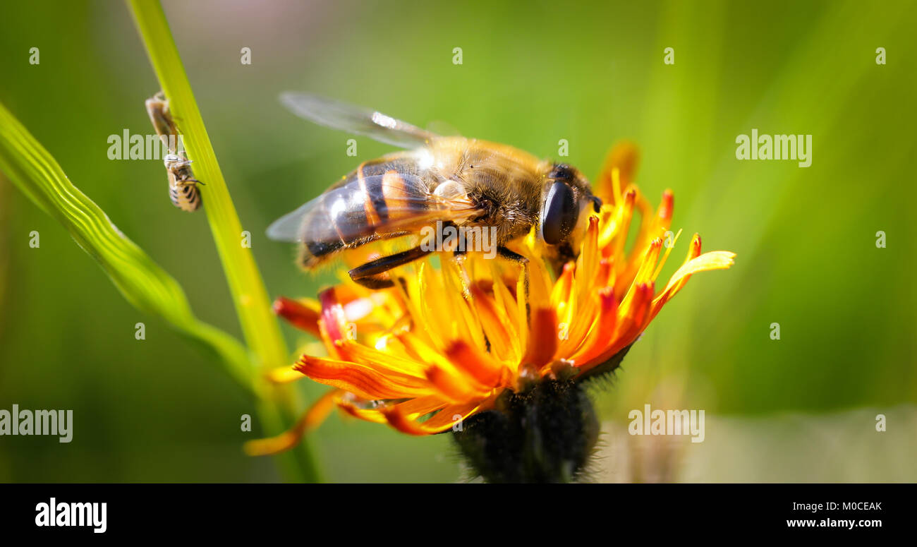 Wasp collects nectar from flower crepis alpina - Stock Image