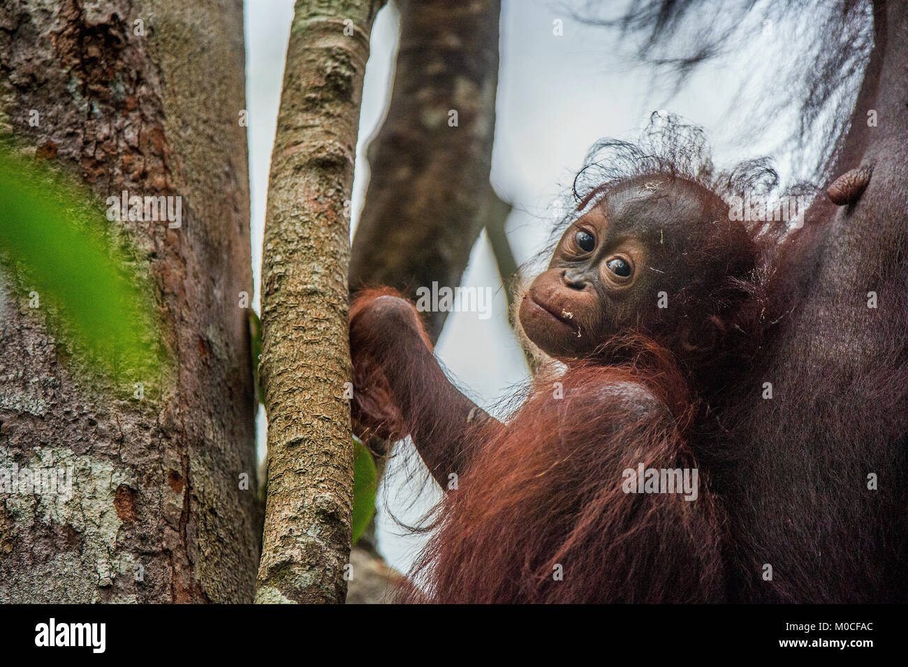 Baby orangutan (Pongo pygmaeus) in the wild nature. Natural habitat in Rainforest of Island Borneo. Indonesia. - Stock Image