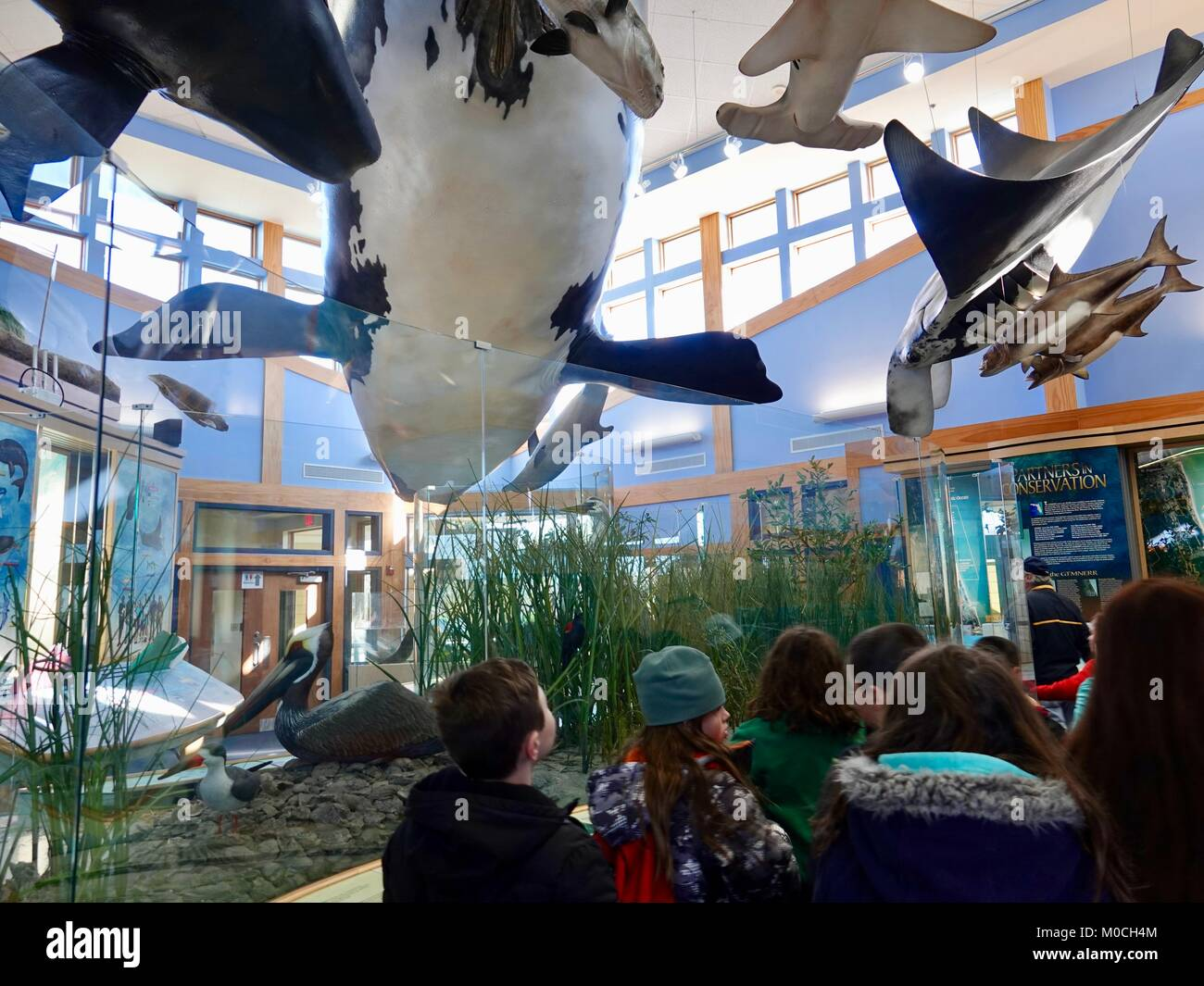School children in the GTM National Estuarine Research Reserve educational building with models of large marine - Stock Image