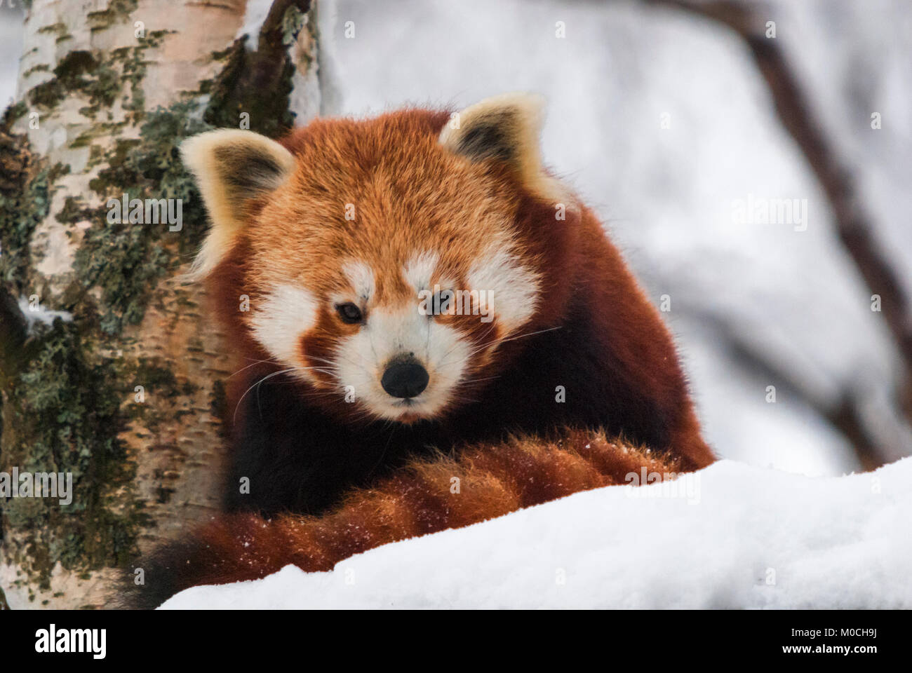 A close up image of a Red Panda, Ailurus fulgens, in the snow at the Highland Wildlife Park, Kingussie, Scotland. Stock Photo