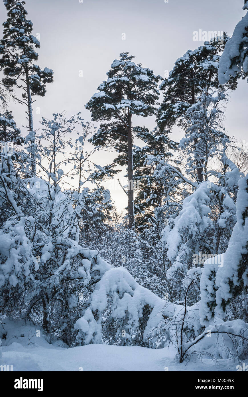 Nethybridge woodland covered in heavy snow at christmas. December 2009 - Stock Image