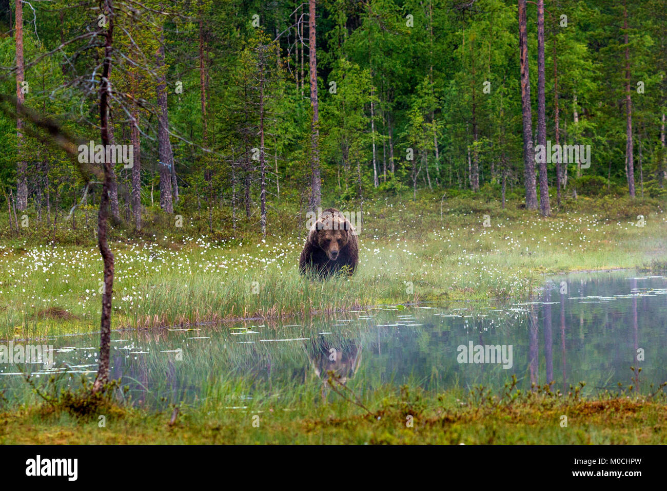 Wild brown bear in Finland. - Stock Image