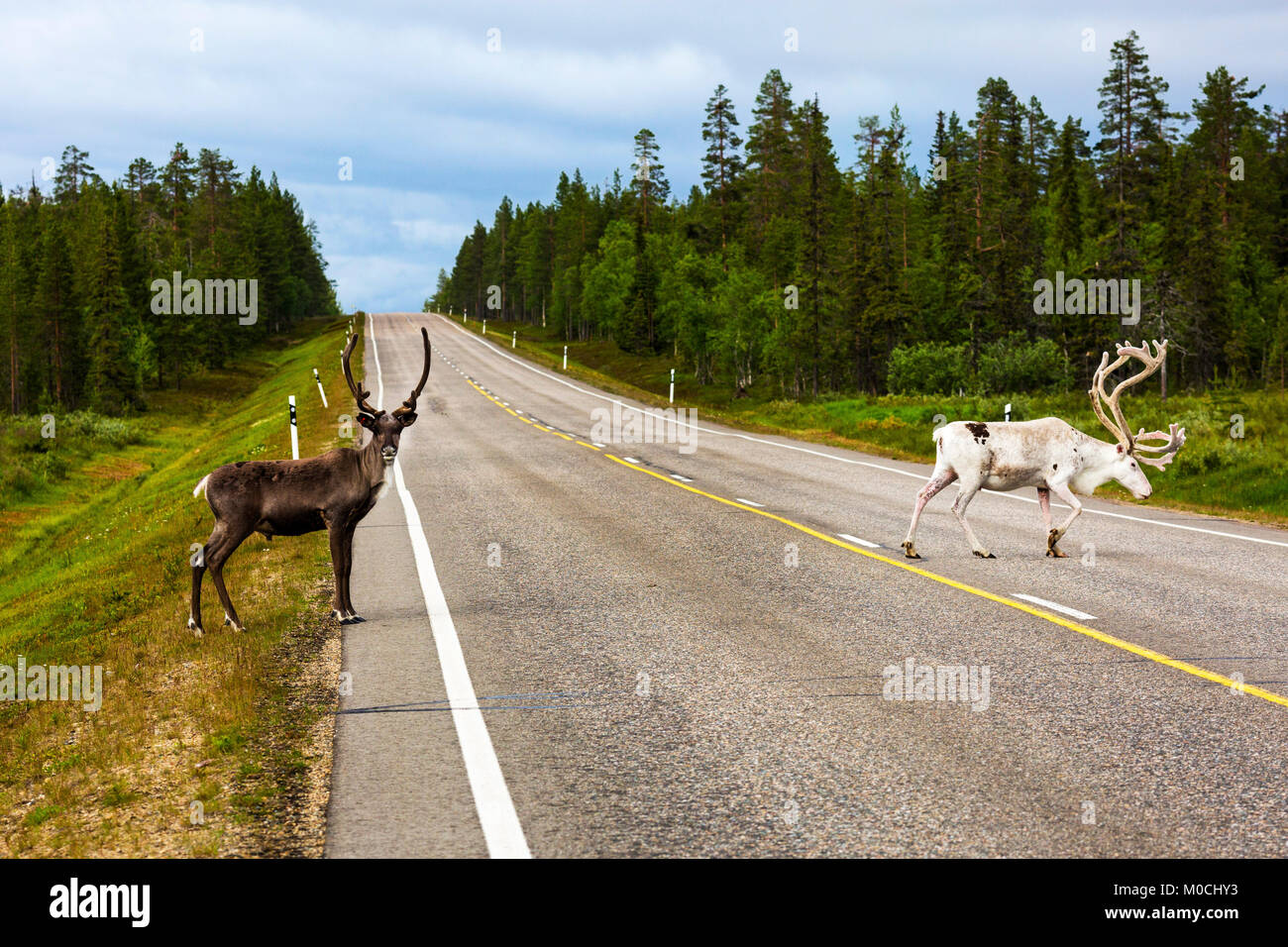 Two reindeers on a road in Finland. Stock Photo