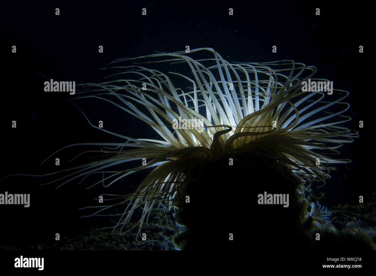 Underwater photography Anilao Philippines, feather duster warm Stock Photo