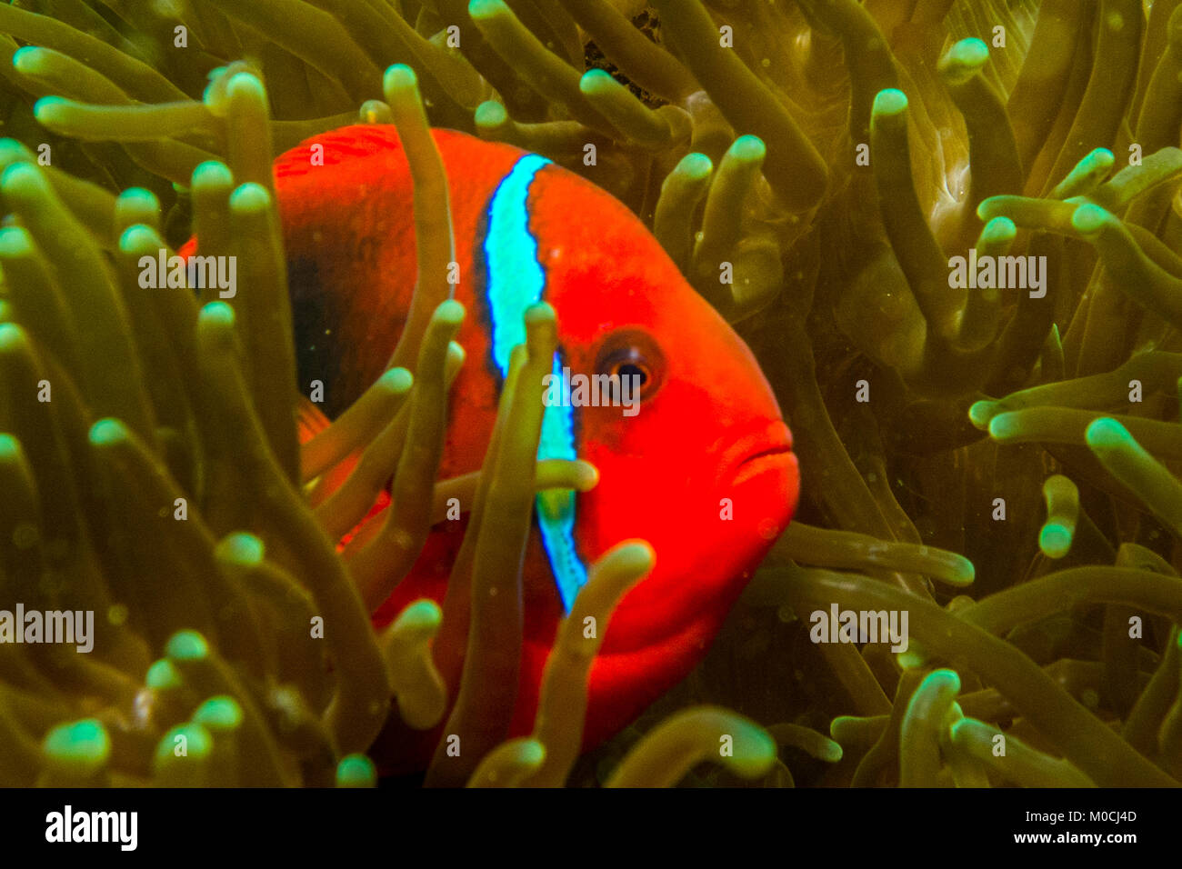 Underwater photography Anilao Philippines, anemone fish, nemo, fish ...