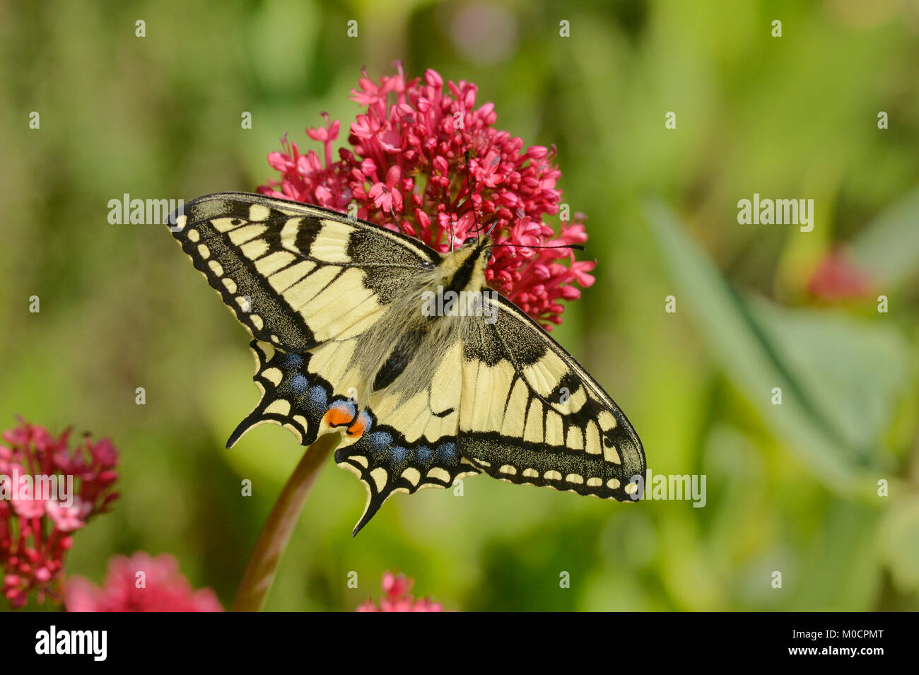 Swallowtail Butterfly Papilio machaon Photographed in the Pyrenees, France Stock Photo