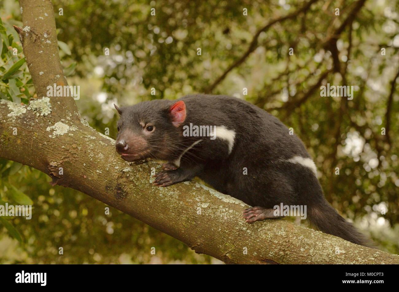 Tasmanian Devil Sarcophilus harrisii Young devil climbing tree Photographed in Tasmania, Australia Stock Photo