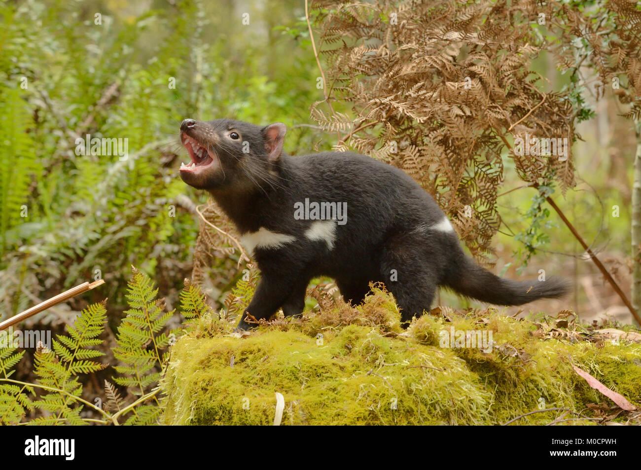 Tasmanian Devil Sarcophilus harrisii Young devil Snarling Photographed in Tasmania, Australia - Stock Image