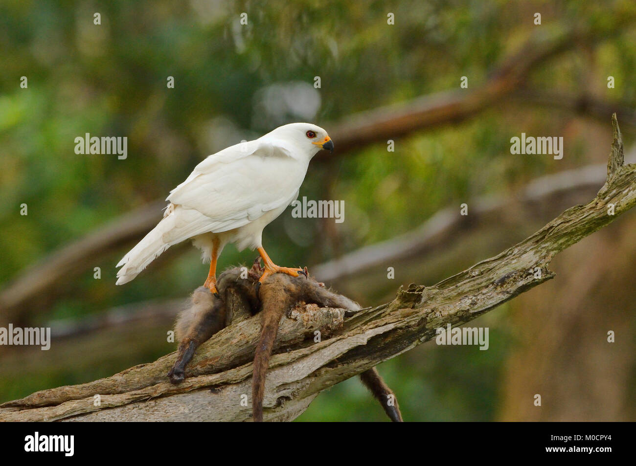 Grey (White) Goshawk Accipiter novaehollandiae With prey	 Photographed in Tasmania, Australia Stock Photo