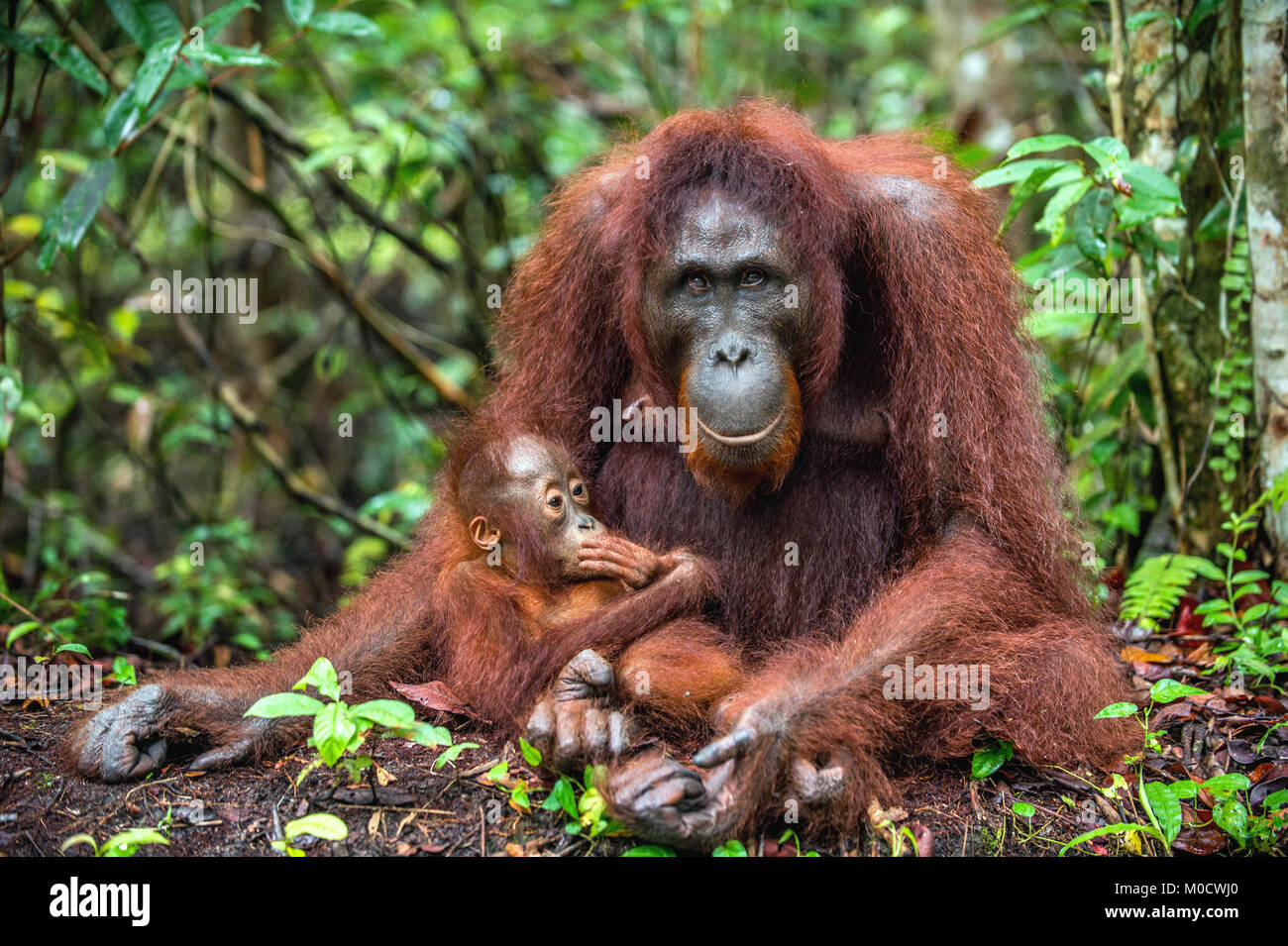 Mother orangutan and cub in a natural habitat. Bornean orangutan (Pongo  pygmaeus wurmmbii) in the wild nature. - Stock Image