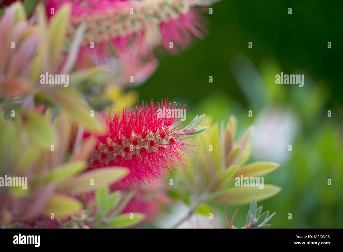 Fluffy Pink Flowers Stock Photos Fluffy Pink Flowers Stock Images