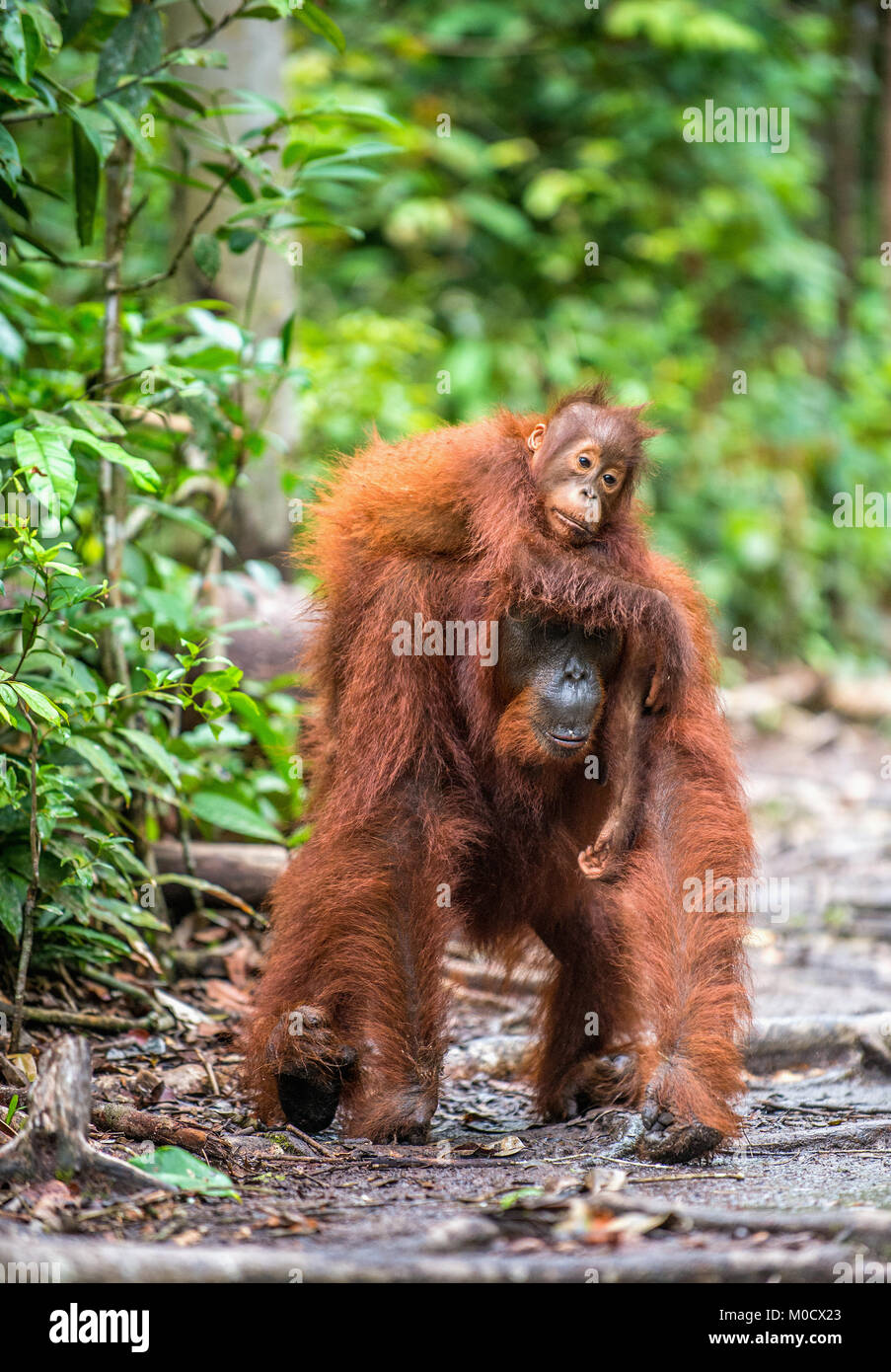 On a mum`s back. Cub of orangutan on mother`s back. Green rainforest. Natural habitat. Bornean orangutan (Pongo - Stock Image