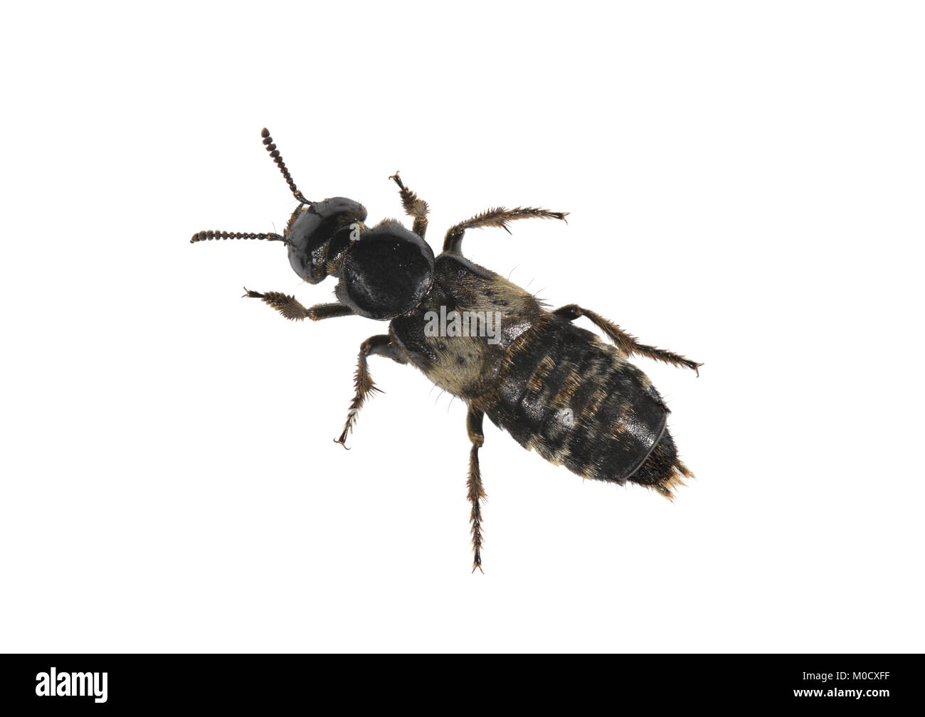 Hairy Rove Beetle - Creophilus maxillosus - Stock Image