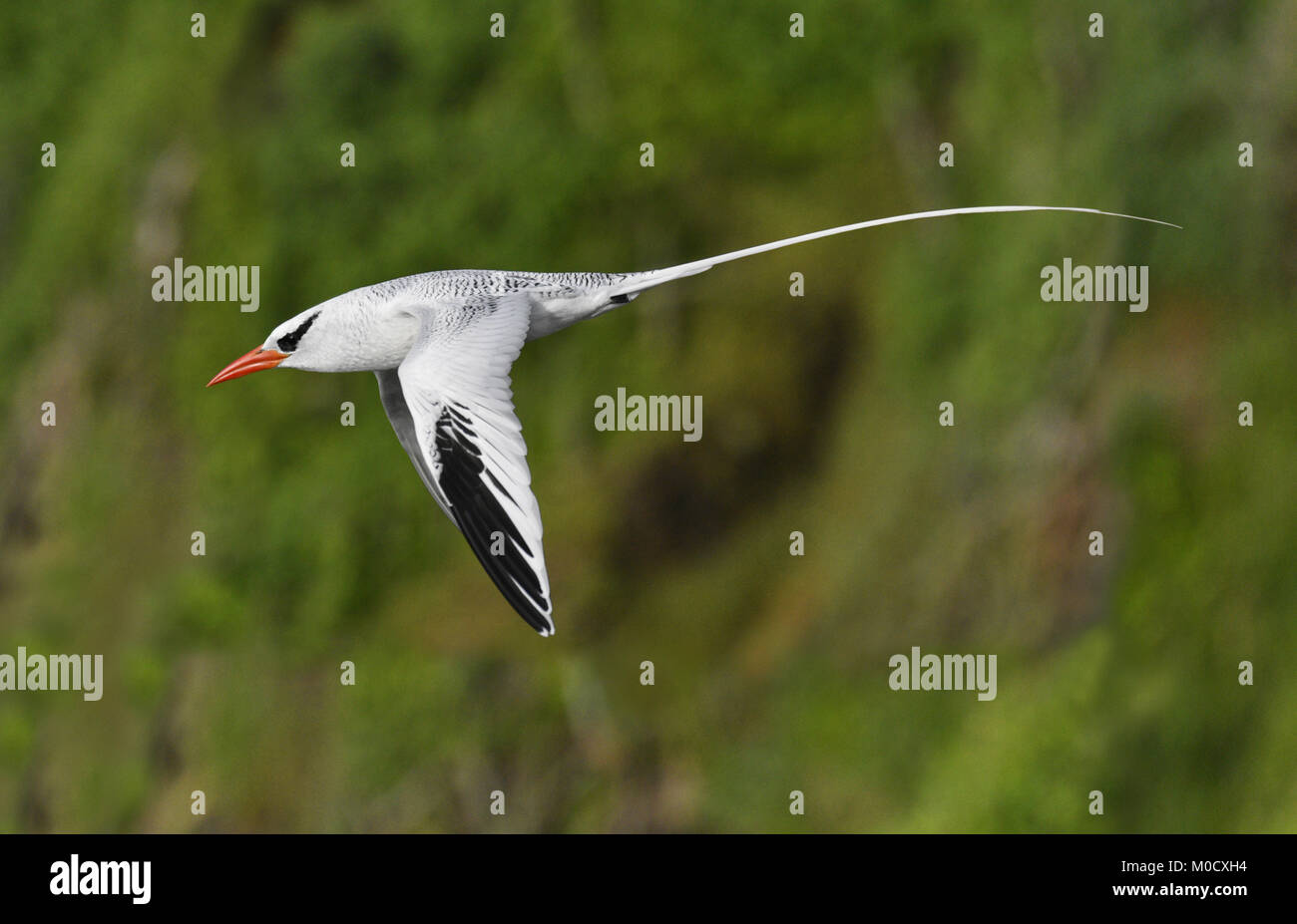Red-billed Tropicbird - Phaethon aethereus Little Tobago, Trinidad and Tobago - Stock Image