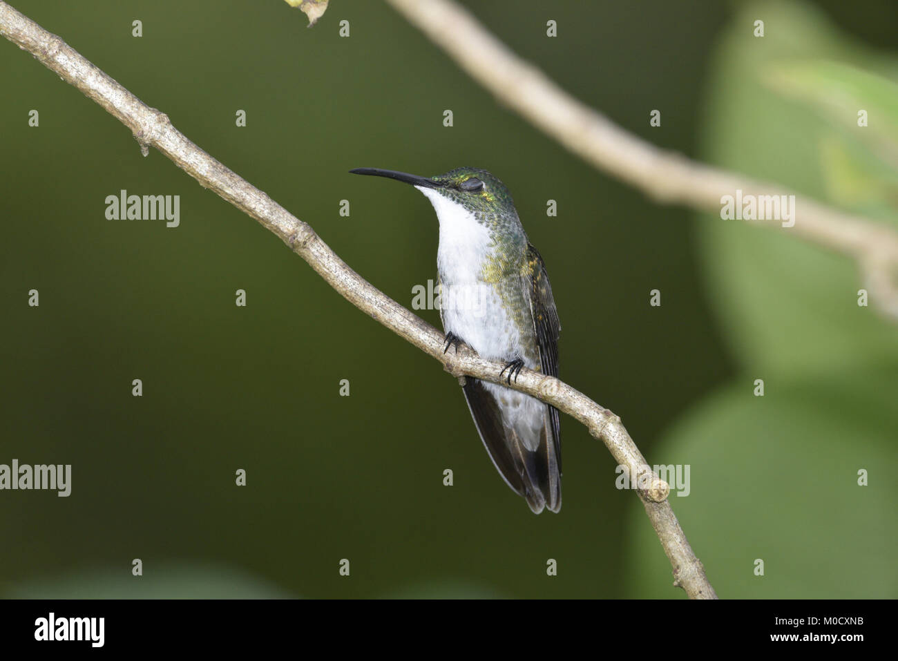 White-chested Emerald - Amazilia brevirostris - Stock Image