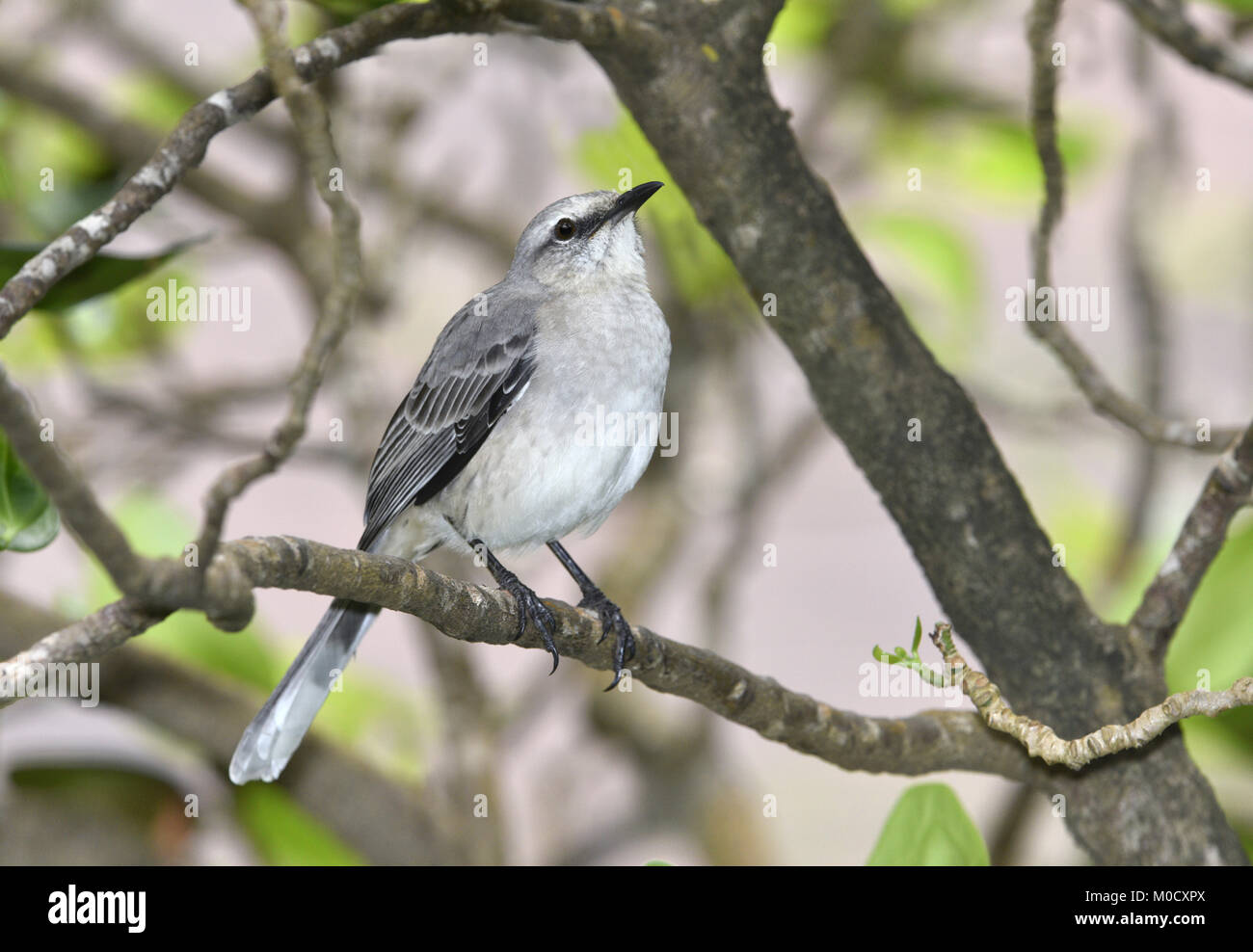 Tropical Mockingbird - Mimus gilvus - Stock Image