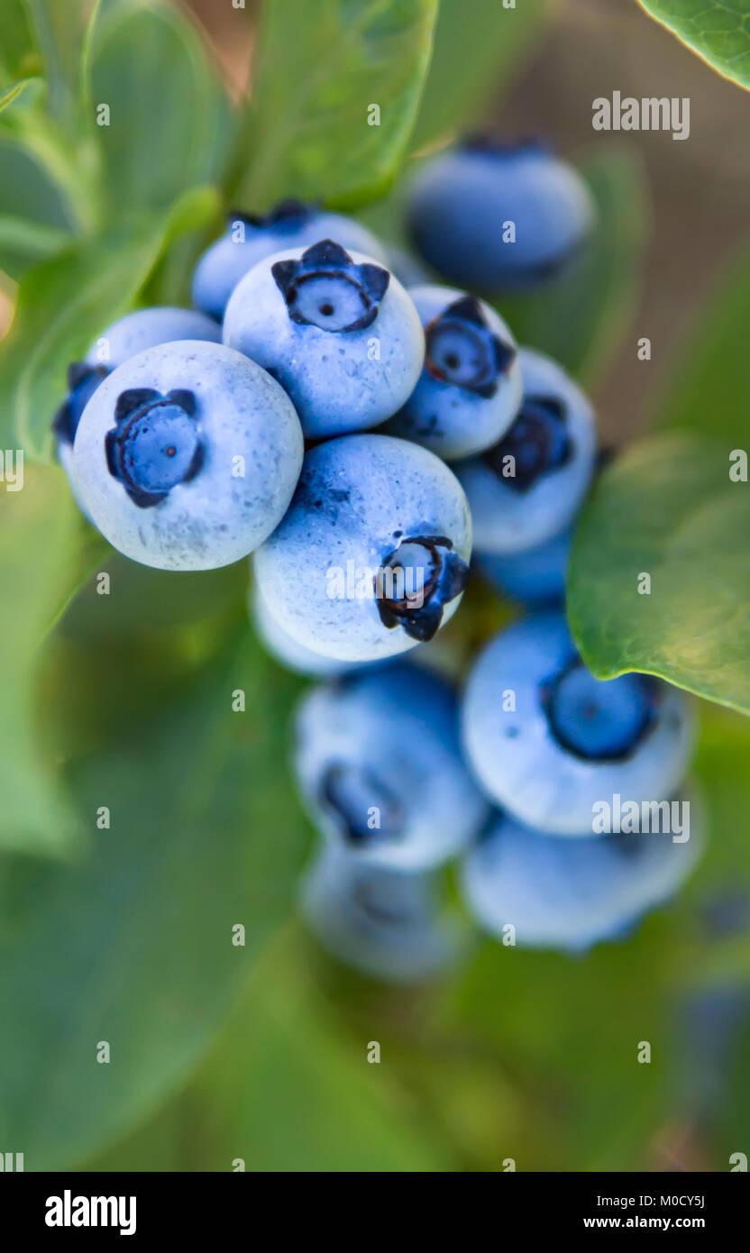 Pastel Blue Fresh Blue Berries - Stock Image
