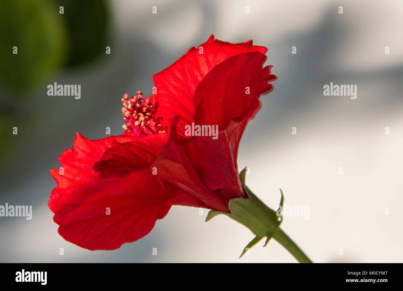 Red hibiscus flower flowers concept stock photos red hibiscus red hibiscus flower in hdr stock image izmirmasajfo