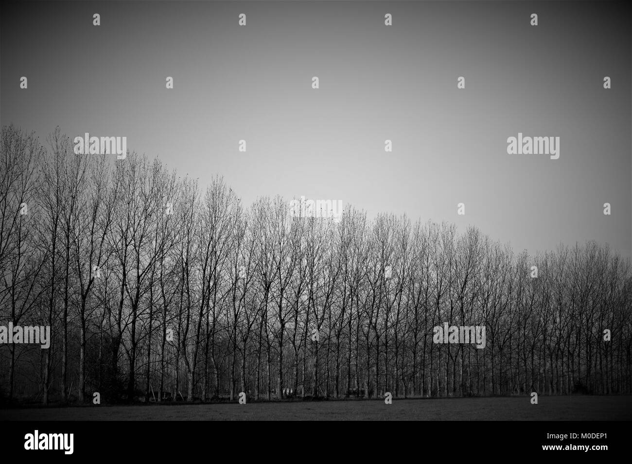Tree line of bare branches in black and white - Stock Image