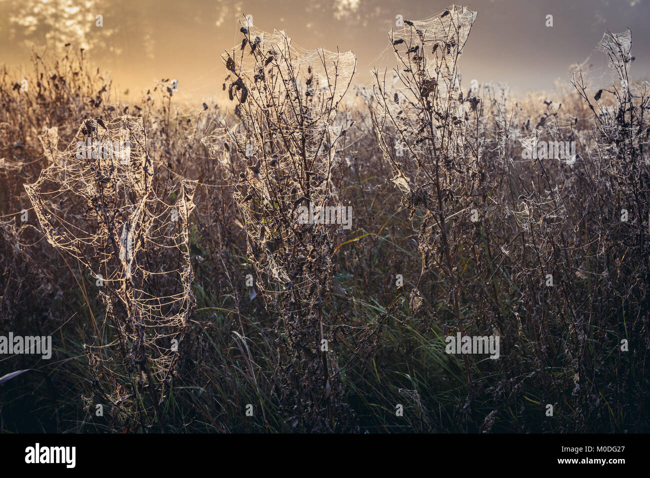 Cobwebbed meadow in Gorki village, Sochaczew County on the edge of Kampinos Forest, large forests complex in Masovian - Stock Image