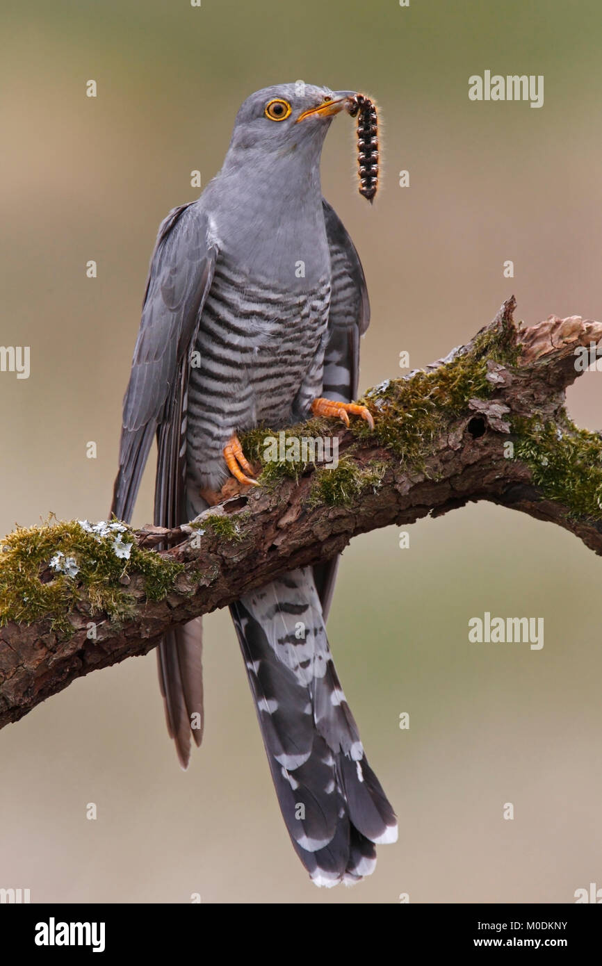 CUCKOO (Cuculus canorus) male with drinker moth caterpillar prey, Kirkcudbrightshire, Scotland, UK. - Stock Image