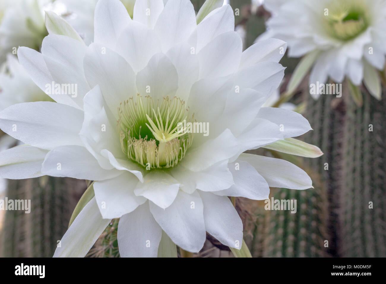 White Cactus Flower Stock Photos White Cactus Flower Stock Images