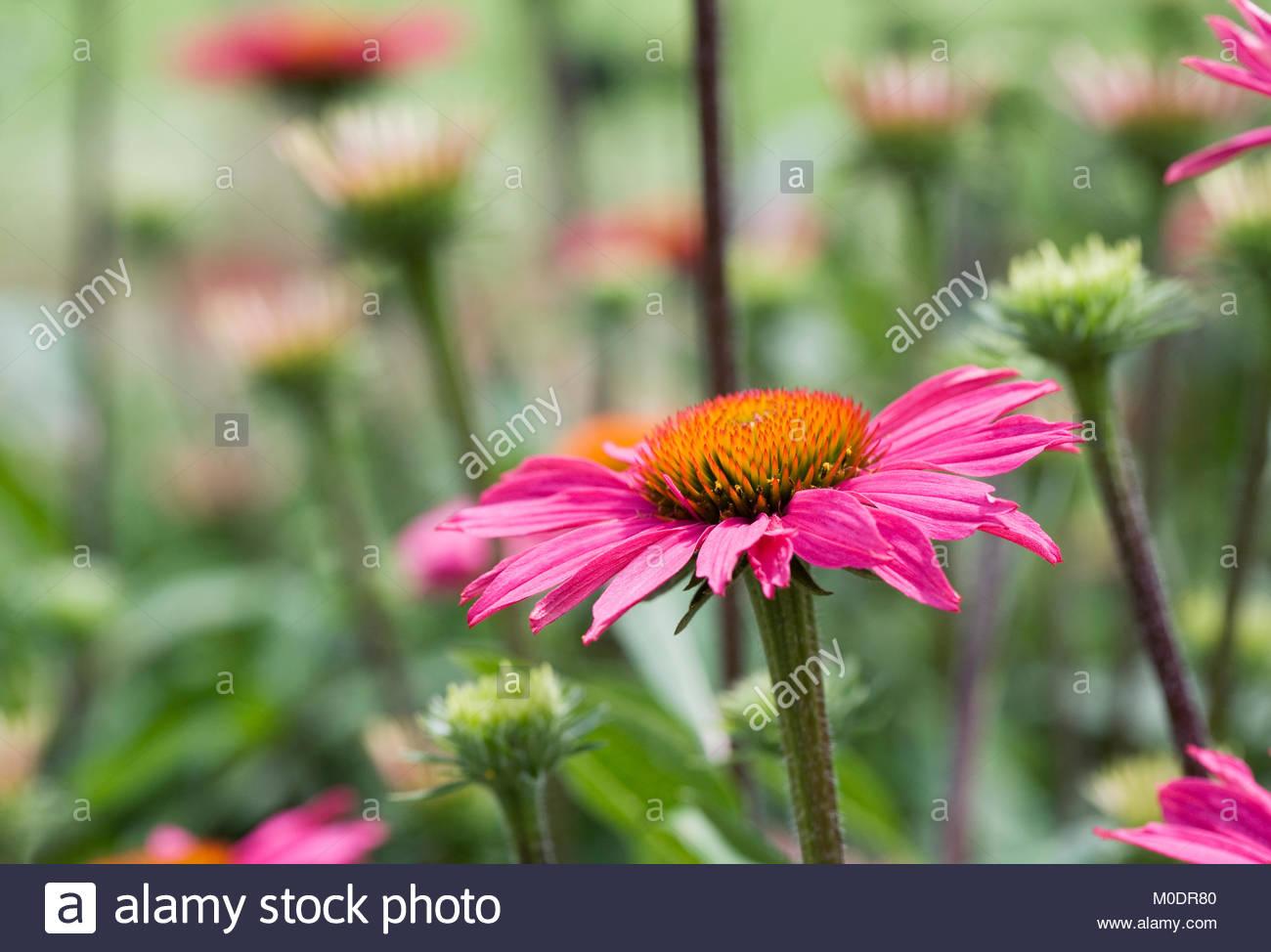 Echinacea purpurea 'Pink Shimmer' flowers. - Stock Image